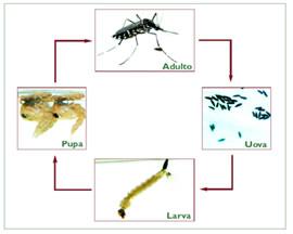 Zanzare impariamo a riconoscerle for Larve zanzare
